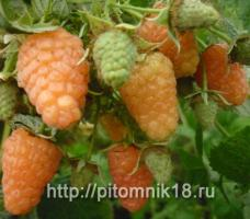 Малина ремонтантная сорт «Оранжевое чудо»