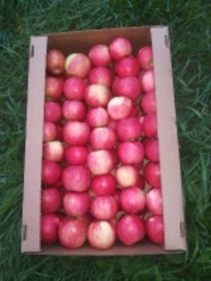 Яблоки Белорусские