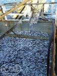 Рыбодобывающее предприятие ССВ предлагает сотрудничество