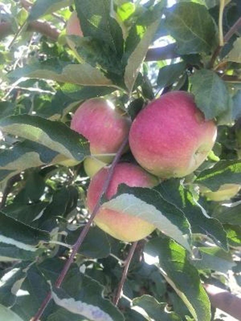 Крымские яблоки оптом