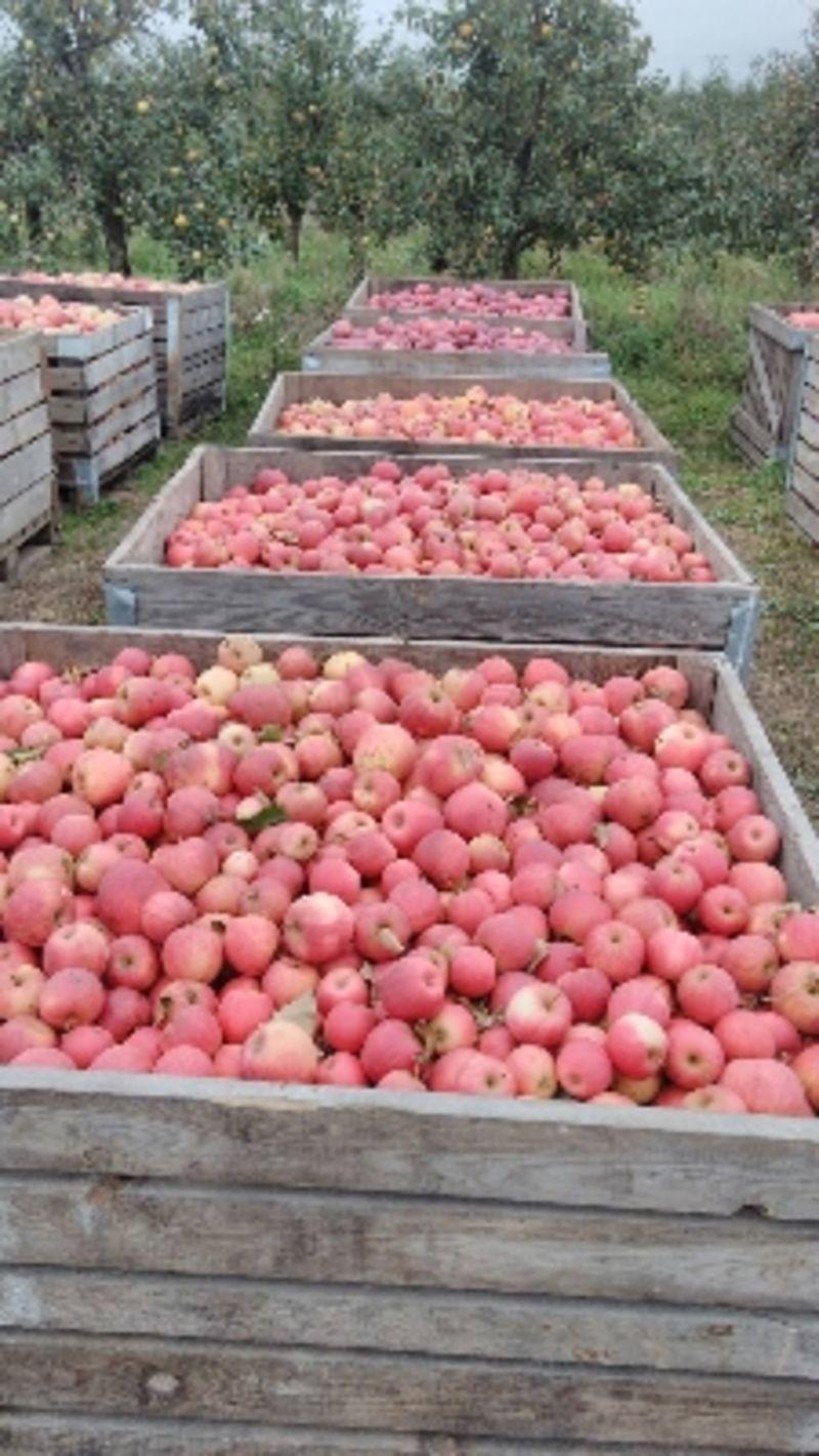 Яблоки Крымские на переработку